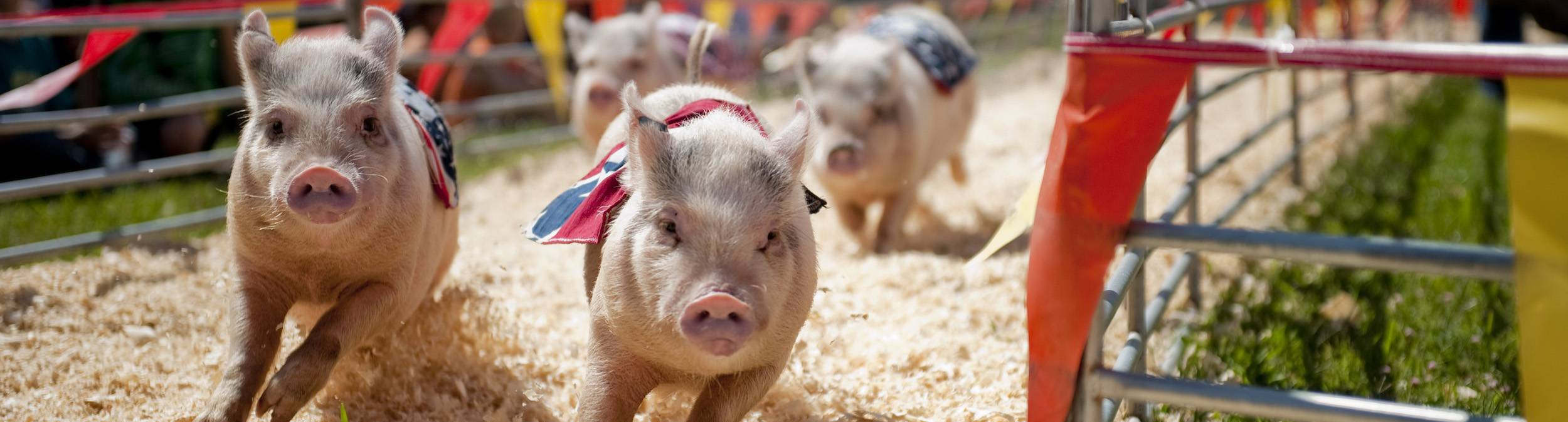 Home-Page-Pig-Races-mm